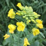 Canola Oil Seeds